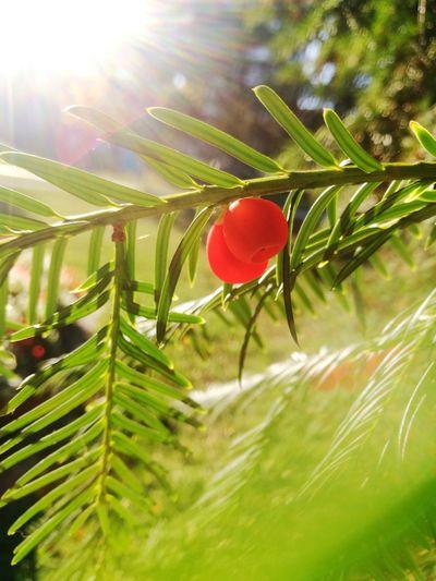 Eibenfrüchte im sonnigen Oktober Yew Tree Yew Berries Yew Berry Bokeh Background Fall October Toxic Yew Sun Brightly Lit Bright Tree Red Leaf Defocused Agriculture Sunlight Flower Close-up