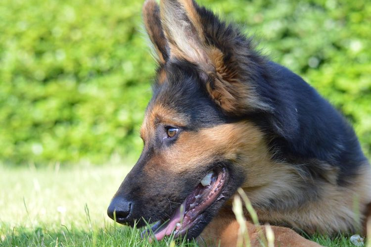 C O L O U R Dog Pets One Animal Animal Themes Domestic Animals Grass Mammal German Shepherd Focus On Foreground Day Outdoors Close-up No People Nature Portrait