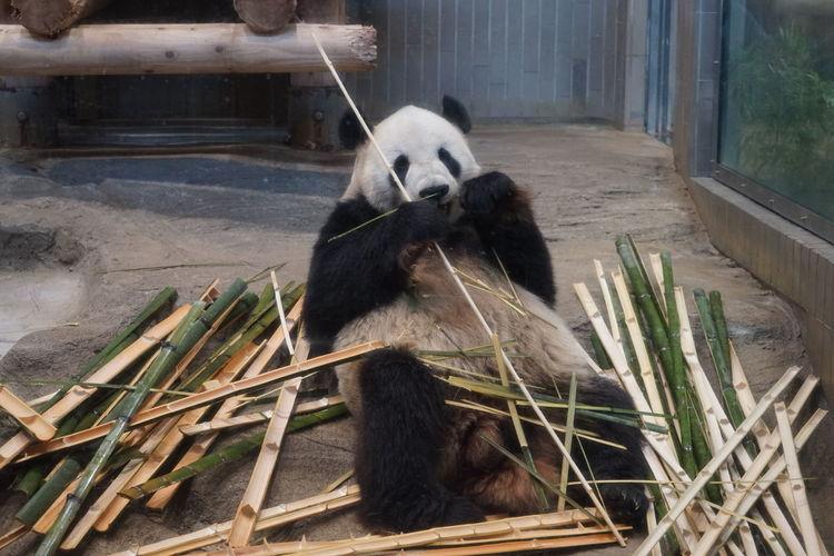 パンダ Panda Animal Bear Life EyeEm Selects Giant Panda Panda - Animal Water Bear Wood - Material Animal Themes Close-up Bamboo Bamboo - Plant Zoo Cage Animals In Captivity