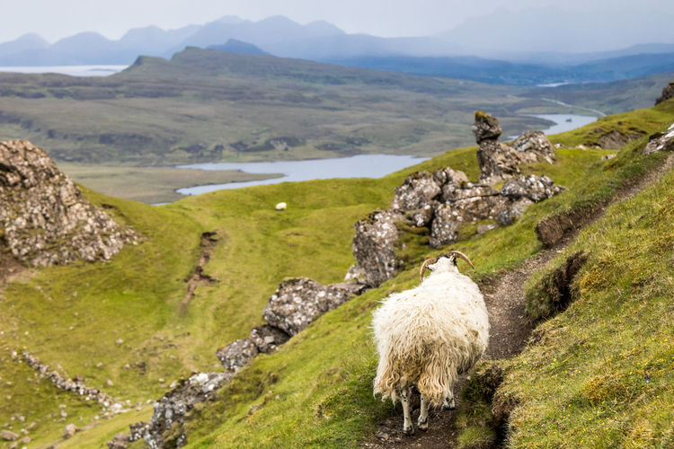 Sheep standing on rock formation