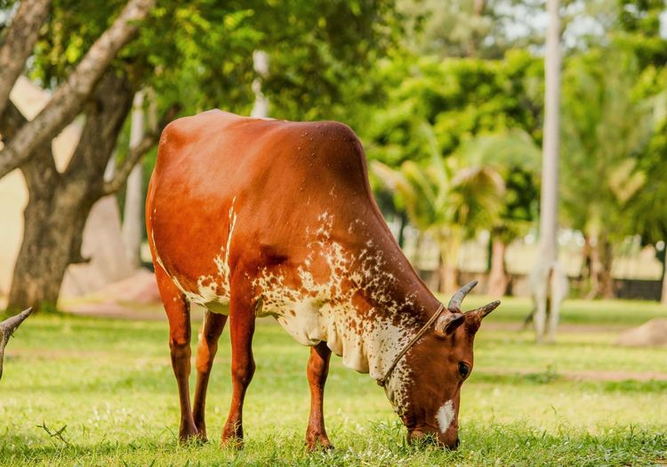 Animal Themes One Animal Domestic Animals Horse Standing Mammal Full Length Livestock Herbivorous Grazing Grass Field Selective Focus Working Animals Day Zoology Focus On Foreground Outdoors Nature Animal Natural Condition Green Color Indian Photographer Cows In The Feilds CreativePhotographer