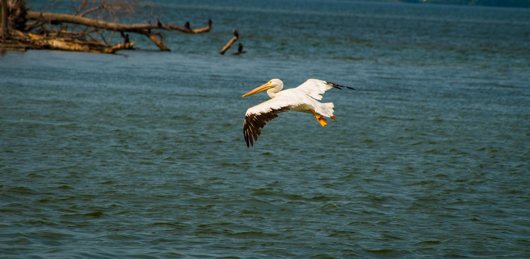 Great White Pelican Animal Animal Themes Animal Wildlife Animals In The Wild Beauty In Nature Bird Day Eagle Flying Mid-air Motion Nature No People One Animal Outdoors Pelican In Flight Sea Spread Wings Stork Vertebrate Water Waterfront