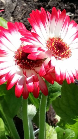 Beautiful Gerber daisy in the sunlight. Good Things Come In Small Packages With Lightcase