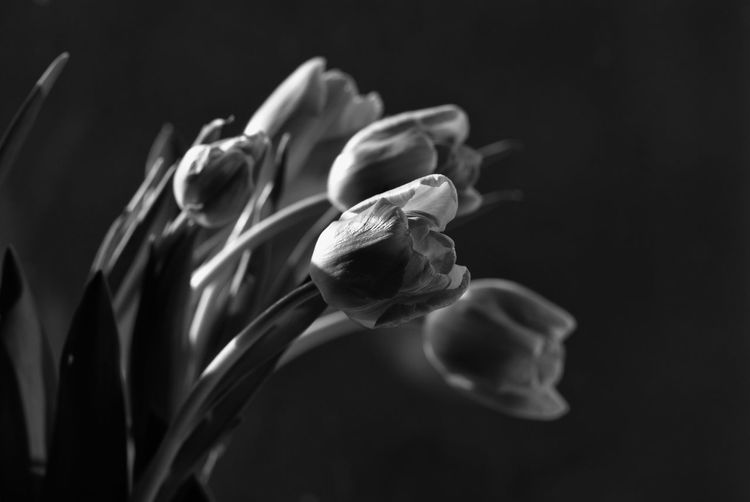 Tulip Tulips Tulipa Flower Flowerporn Flower Head Bunch Of Flowers Bouquet Fine Art Photography Plant Growth Petal Fragility Monochrome Bw_collection Close-up Light And Shadow Blackandwhite Freshness Black Background Beauty In Nature Nature EyeEm Masterclass Eye4photography  Floral