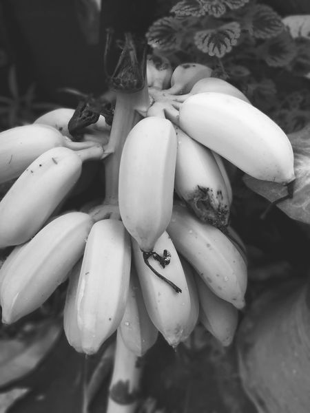Useful Plants Nature Beauty Black And White Color No People Outdoor Healthy Food Banana Tree Close-up Food And Drink