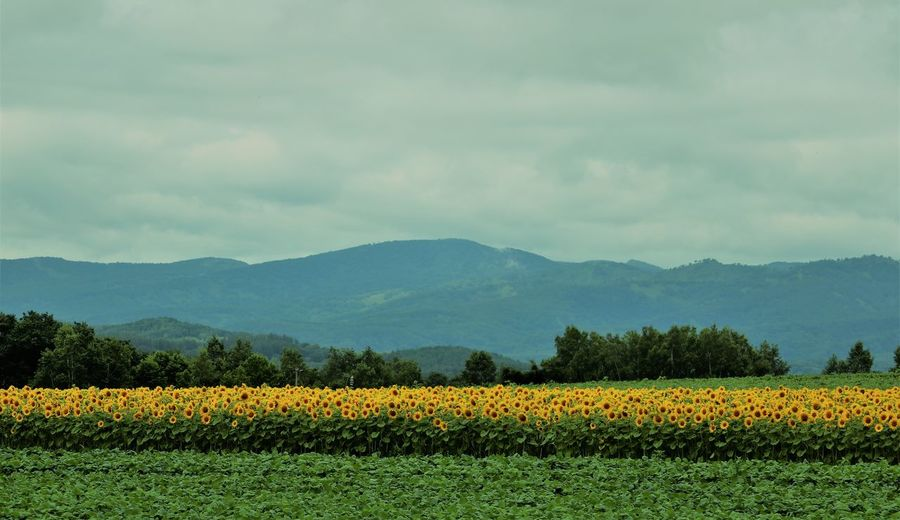 Sunflower Horizon Hokkaido Stripes Agriculture Beauty In Nature Cloud - Sky Environment Field Flower Flowerbed Flowering Plant Growth Horizon Over Land Horizontal Symmetry Land Landscape Mountain Mountain Range Outdoors Plant Rural Scene Scenics - Nature Sunflowers Tranquil Scene Tranquility Yellow A New Perspective On Life
