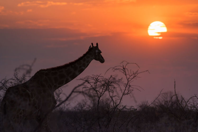 Dawn Giraffe Giraffe Head Namibia NamibiaPhotography Traveling Animal Animal Themes Beauty In Nature Cloud - Sky Giraffes Girl Herbivorous Idyllic Mammal Nature No People Non-urban Scene Orange Color Outdoors Scenics - Nature Silhouette Sky Sunset Tranquil Scene Tranquility