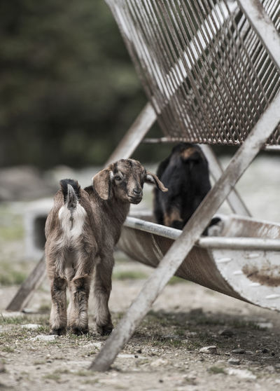 Kid goat standing by feeder