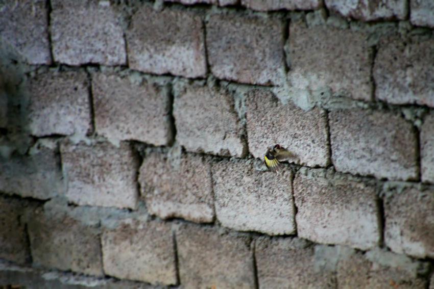 ჩიტბატონა The European goldfinch or goldfinch (Carduelis carduelis) Backgrounds Bird Brick Wall Close-up Day Detail European Goldfinch Flying Bird Full Frame No People Outdoors Textured  Wall - Building Feature ჩიტბატონა