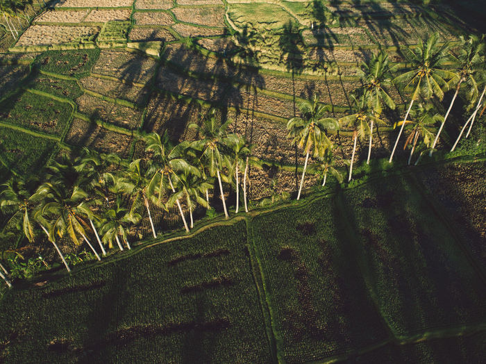 High angle view of rice fields