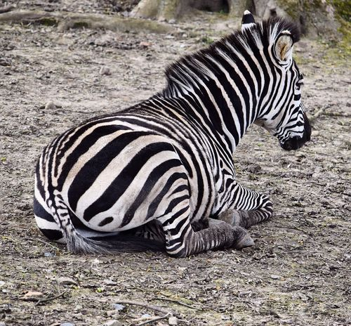 Wildlife & Nature Animal Photography Animals In The Wild Zebra Laying Down On The Ground Resting Close-up Sand Dryness Pattern Natural Beauty