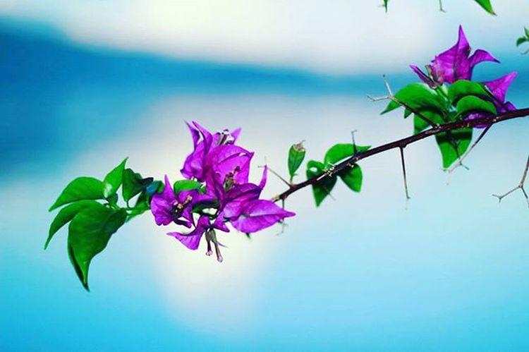 Bougainvillea spectabilis Flowers Nature Flora Floral Saparua Maluku  Insta Bunga Kembang