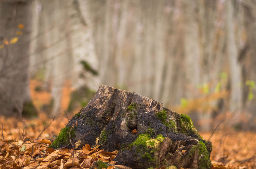 Exploring the small mountain town of Krushevo in Macedonia Close-up Day Focus On Foreground Forest Leaf Nature No People Outdoors Tree Tree Trunk