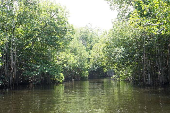 Mangroves on the Black River. Black River Jamaica Landscape Mangroves River Safari