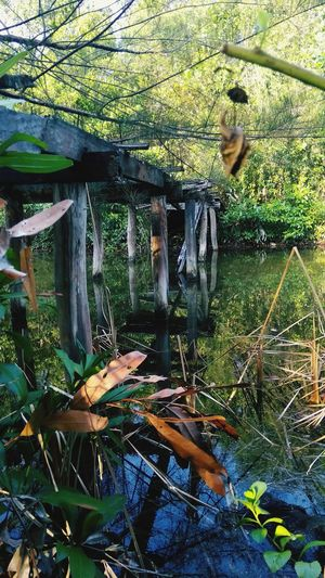 reflection Water Swamp Wooden Bridge Over Water Wooden Bridge In Forest Tropical Tree Fishing Net Fishing Equipment Wetland Reed - Grass Family