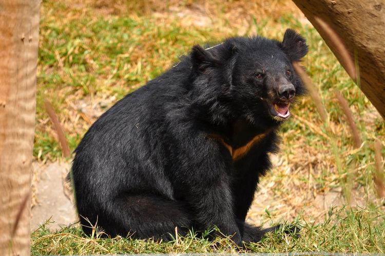 Asiatic Pennywort Bear BlackBear Sit Animal Themes Mammal Nature Survival