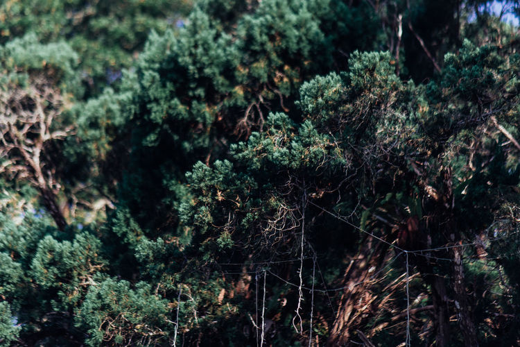 Tress and decoration Tree Plant Forest Growth Nature No People Land Day Tranquility Beauty In Nature Outdoors Green Color Selective Focus Foliage WoodLand Lush Foliage Branch Full Frame Moss Tranquil Scene Rainforest Coniferous Tree