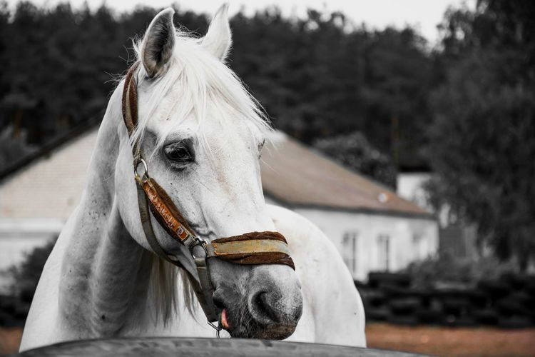 Close-Up Of White Horse In Ranch