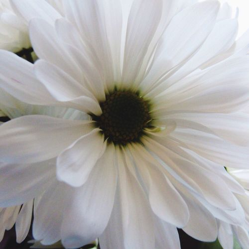 Good Morning 🙋🏼 Daisy Mum Flower Petal Inflorescence Flower Head White Color Close-up Full Frame Beauty In Nature