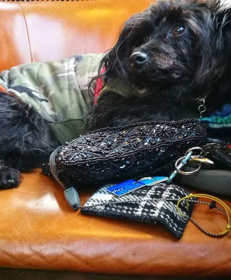 E'li Can Walk No More E'li. Hwawei P9 E,Li Resting In Coffee 1 After Walking. Pets Dog Portrait Close-up Canine