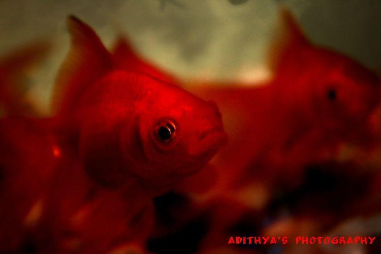 Fish Goldfish