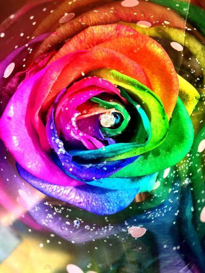 Rose🌹 RainbowRose Flowers