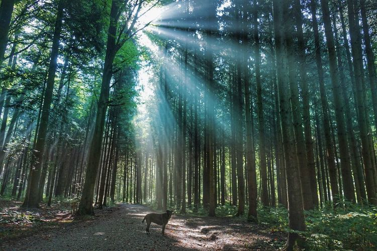 Dog Standing On Dirt Road In Forest Against Sunbeams