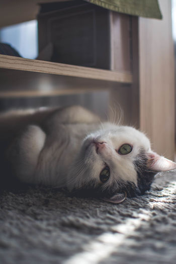 Close-up portrait of cat resting on carpet