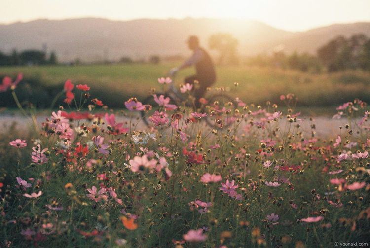 Autumn Bike Fall Flower Guri Korea Nature Sunlight Sunset Sunset_collection Yoonski 가을 구리 노을 대한민국 윤스키 일몰 코스모스 한국 First Eyeem Photo