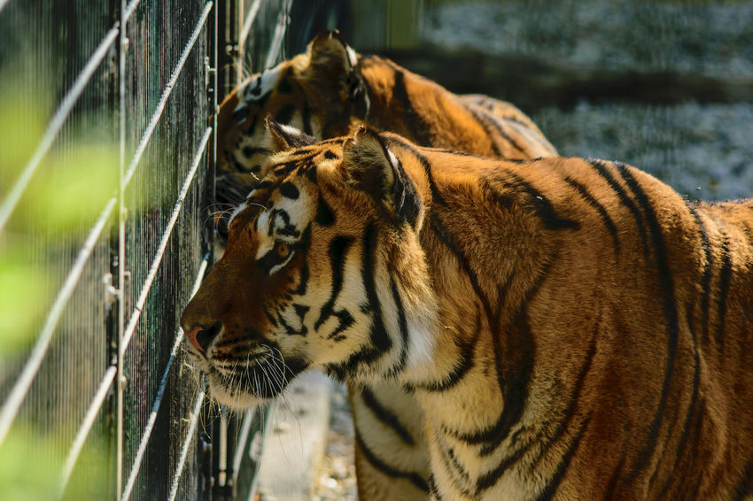 tigers behind Bars - watching their visitors Nahaufnahme Tiger Fixierender Blick Beobachtend Gitter Fellzeichnung Stehend Tigers Grid Watching EyeEm Selects Close-up Big Cat Threatened Species Undomesticated Cat Captive Animals