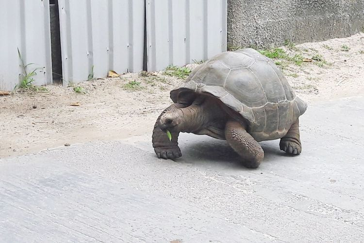 Giant turtle, Seychelles Tropical Paradise Seychelles Islands Seychelles Giant Turtle La Digue Island Tortoise Reptile One Animal Animal Wildlife Tortoise Shell Outdoors Animal Themes Animals In The Wild No People Nature