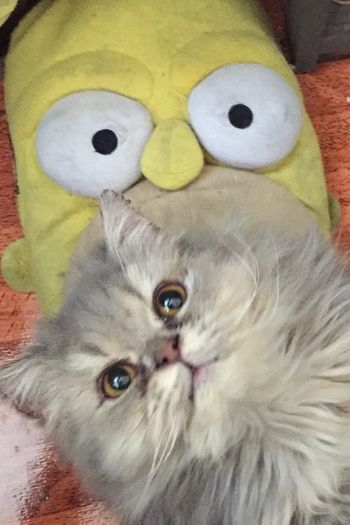 Garritas y Homero Catlovers Cats Of EyeEm Persian Cat  Homero Simpson Simpsons Mammal Animal Animal Themes One Animal Close-up Cat Feline Domestic Cat Indoors  Domestic Looking At Camera