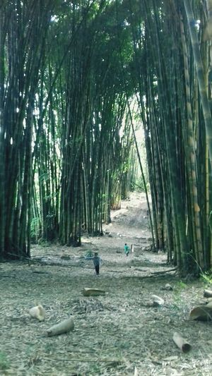 Bambuzal da serra... Bambuzal Foodphotography Happiness Photography PhonePhotography Walking Walking Around Way Tree Bamboo - Plant Men Bamboo Grove Forest Lush - Description Woods Pathway Under Bamboo Walkway Greenery Rainfall Countryside Long Below