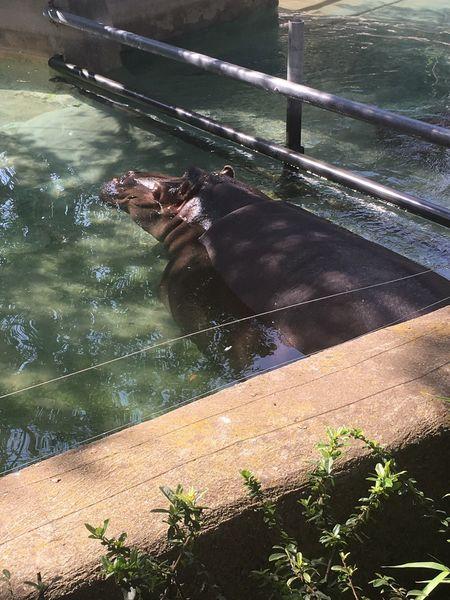 Bioparco Rome Hippo