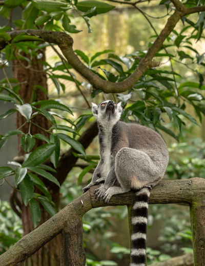 The ring-tailed