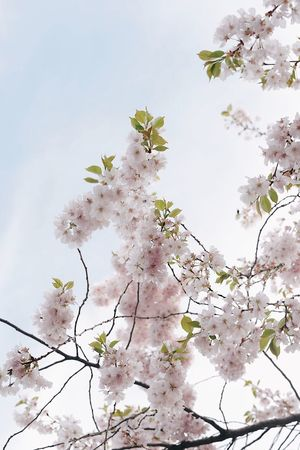 Cherry Blossom Plant Flower Flowering Plant Tree Growth Beauty In Nature Fragility