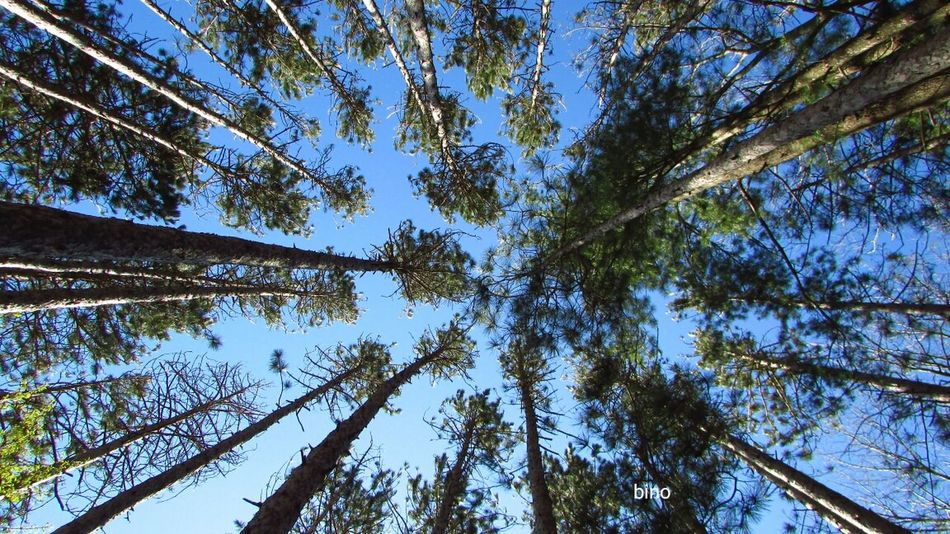 Taking Photos Low Angle View Among The Pines Looking Up Cool Shot! Blue Sky Quiet Moments Lake Mitchell Cadillac Michigan