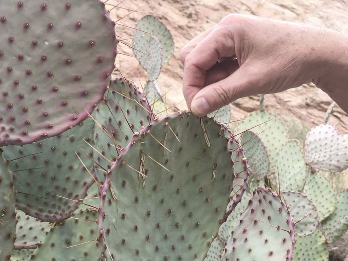Cropped hand holding thorn on cactus