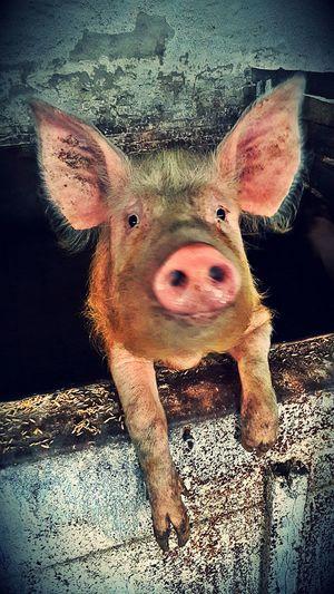 свинья поросенок Pig грязь