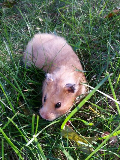 green grass and ham :-D Hamster Syrian Hamster  Pets Cute Cute Pets Hamster Love Nikki Hamster
