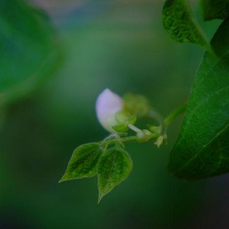赤豆の小初花 Sprouts New Green X-Pro1 Helios 44M