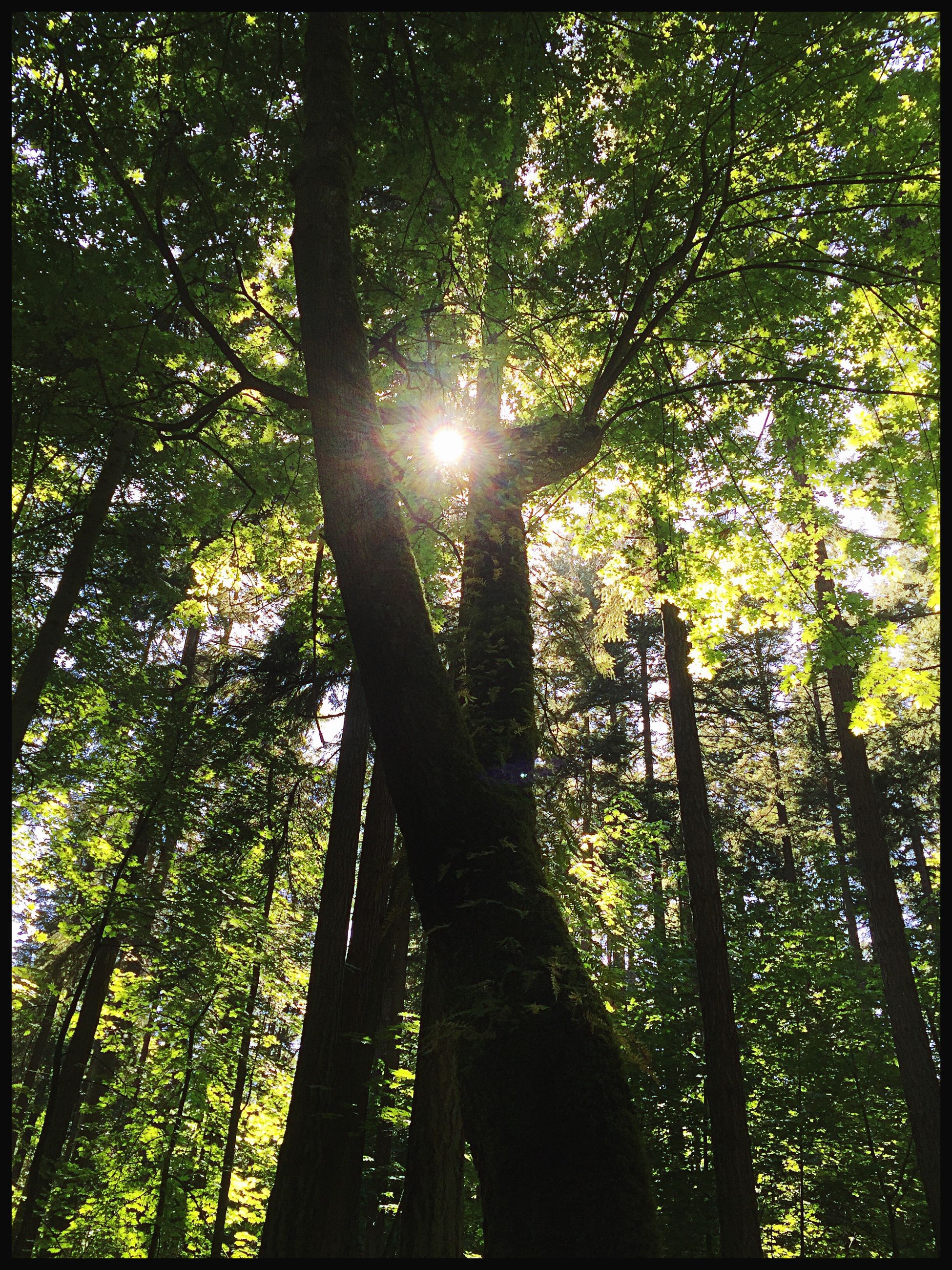 tree, forest, tree trunk, nature, sunbeam, sunlight, growth, low angle view, beauty in nature, tranquility, lens flare, day, outdoors, tranquil scene, no people, sun, green color, scenics, branch, bamboo - plant