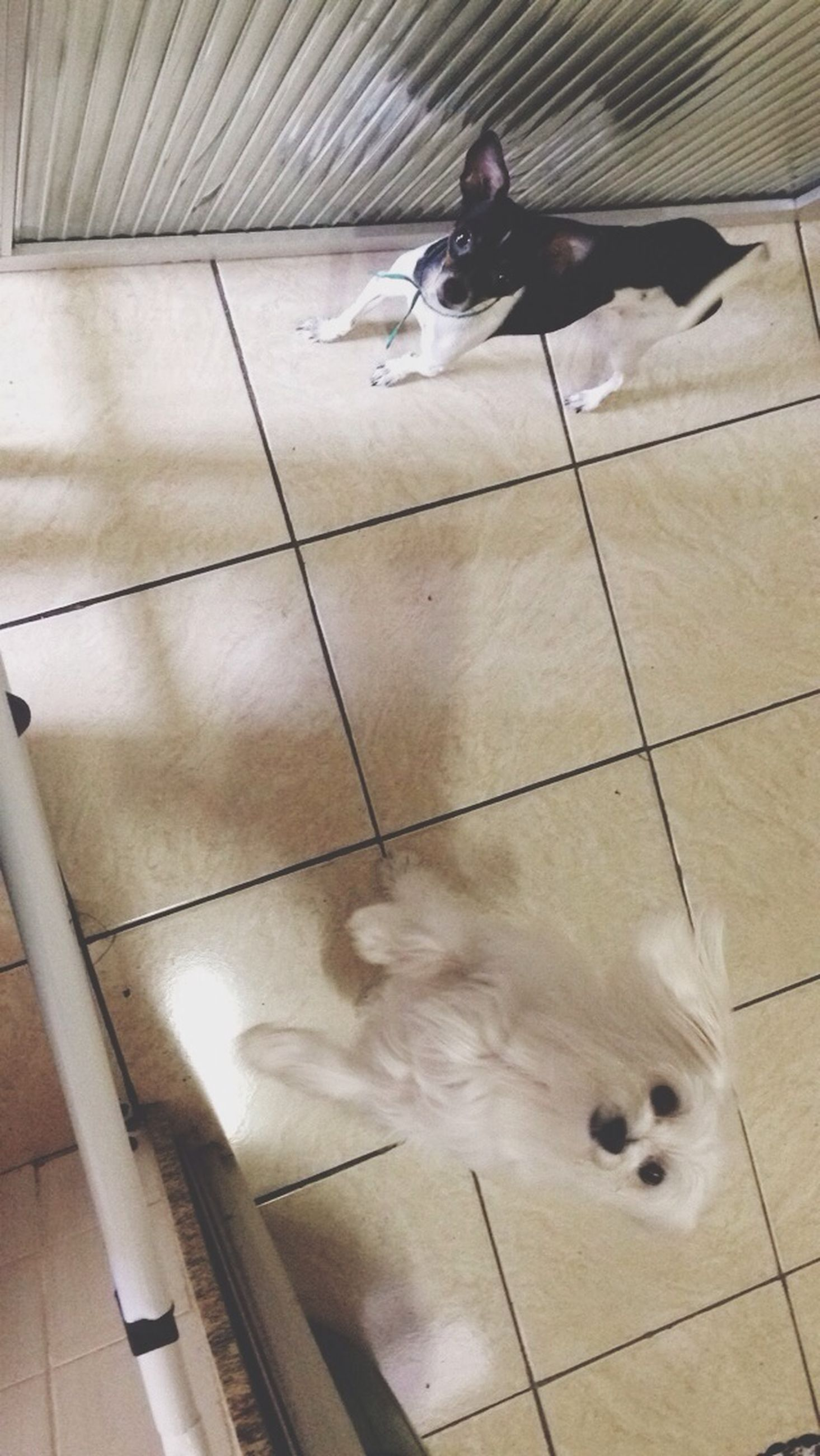 indoors, animal themes, pets, domestic animals, tiled floor, high angle view, flooring, one animal, tile, mammal, dog, domestic cat, full length, cat, floor, reflection, white color, bird, no people, hardwood floor