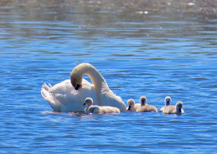 Swan family swimming mother and cygnets water ripples animal themes outdoors beauty in nature Water Animal Wildlife Water Bird Animal Family No People