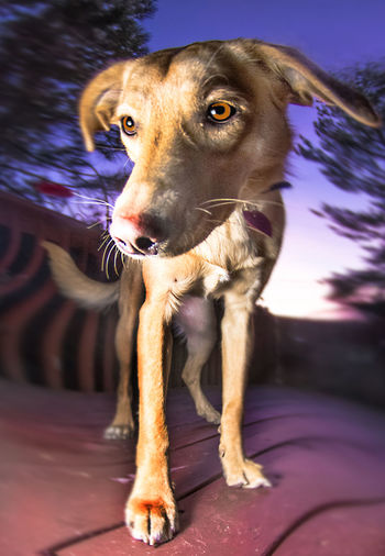 Bobble Head Dogs Animal Animal Body Part Animal Themes Close-up Day Dog Domestic Animals Looking At Camera Mammal No People One Animal Outdoors Pets Portrait