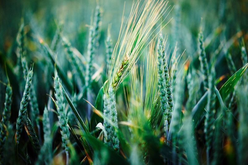 Agriculture Beauty In Nature Cereal Plant Close-up Crop  Ear Of Wheat Farm Field Food And Drink Green Color Growth Land Landscape Nature No People Outdoors Plant Rural Scene Rye - Grain Selective Focus Wheat