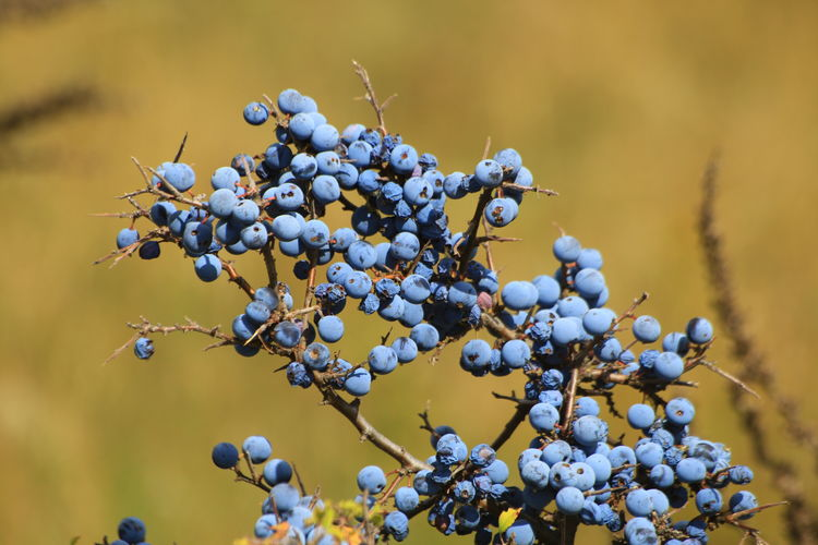 Close-Up Of Blueberry Bunch On Twigs