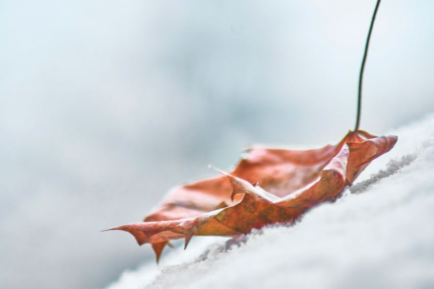 Fall while first snow Snow Fall Beauty Fall Colors Winter Beauty In Nature Weather Outdoors No People Focus On Foreground Fragility Cold Temperature Maple EyeEm Ready