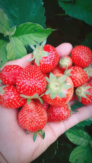 Strawberry Nature Enjoying Life Taking Photos院子里长出了鲜红的草莓😘