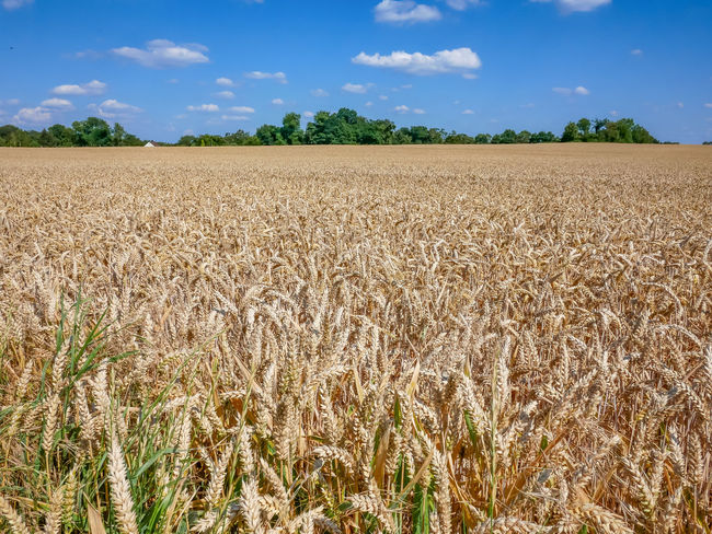 Ripe wheat field just before the harvest Agriculture Beauty In Nature Cereal Plant Cloud - Sky Crop  Day Environment Farm Field Growth Land Landscape Nature No People Outdoors Plant Plantation Rural Scene Scenics - Nature Sky Stalk Tranquil Scene Tranquility